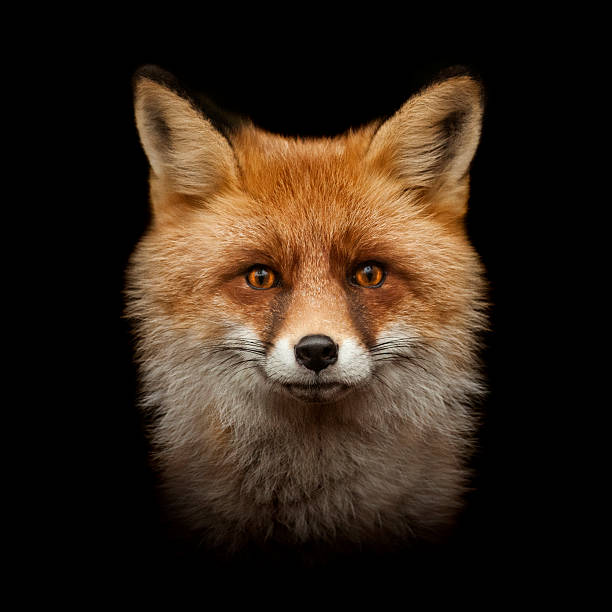 red fox face isolated on black - fox stock photos and pictures