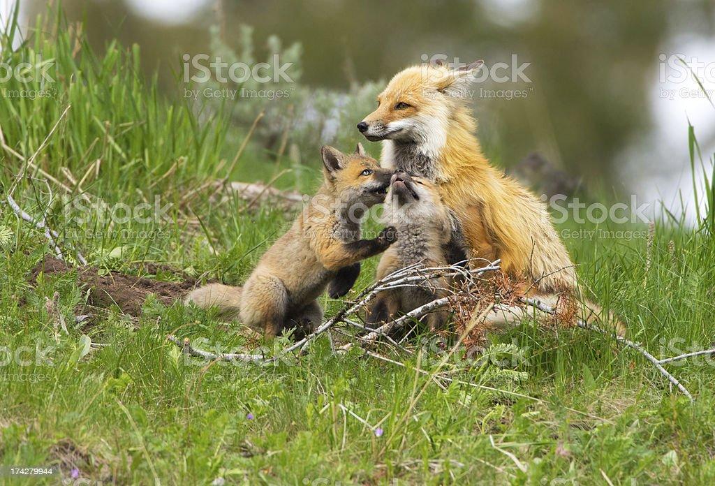 Red Fox Family - Yellowstone NP royalty-free stock photo