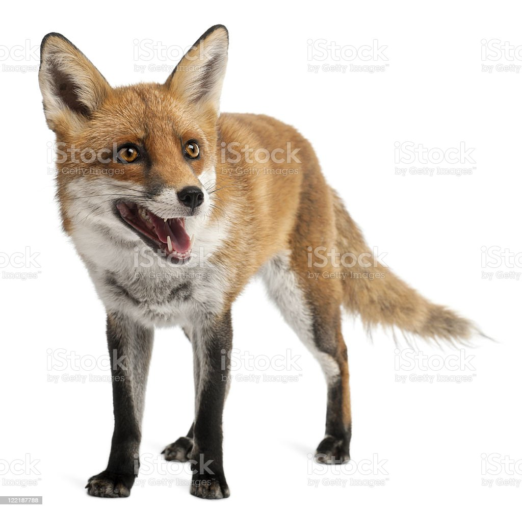 Red Fox, four years old, standing, white background. royalty-free stock photo