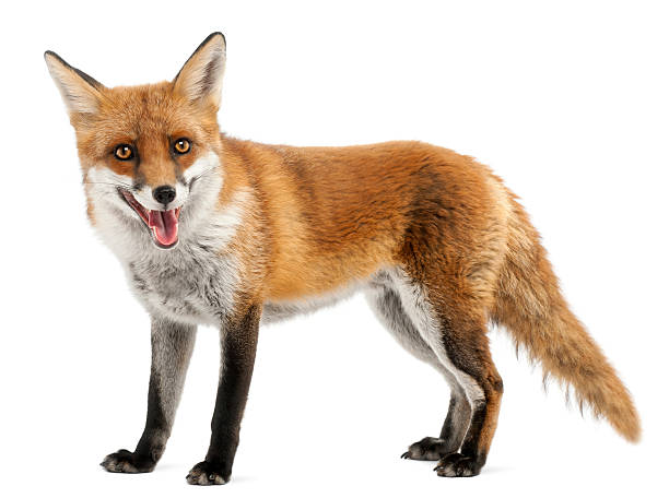 red fox, four years old, standing, white background. - fox stock photos and pictures