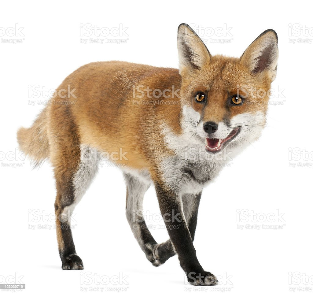 Red Fox, four years old, walking, white background. stock photo