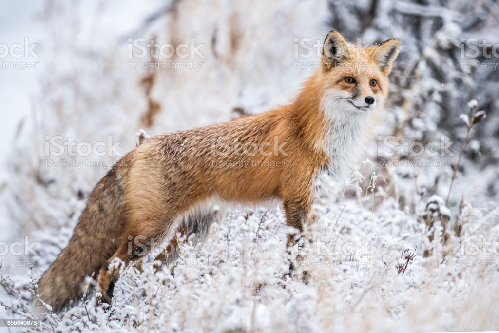 Red Fox hunting in snow stock photo