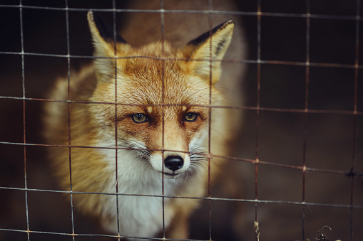 Fox, Animal, Mammal, One Animal, Red Fox