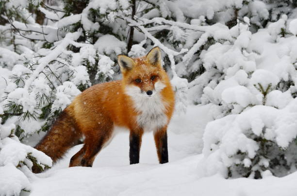 red fox in a winter setting - fox stock photos and pictures