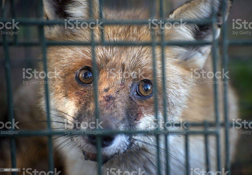 Volpe rossa in gabbia - Foto stock royalty-free di Animale