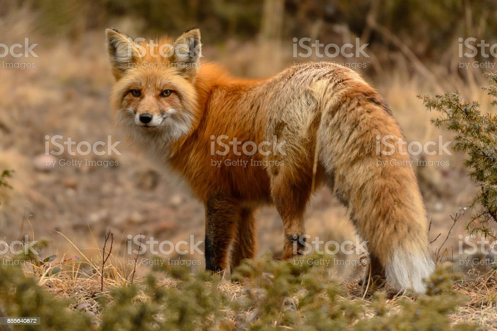 Red Fox in Colorado stock photo