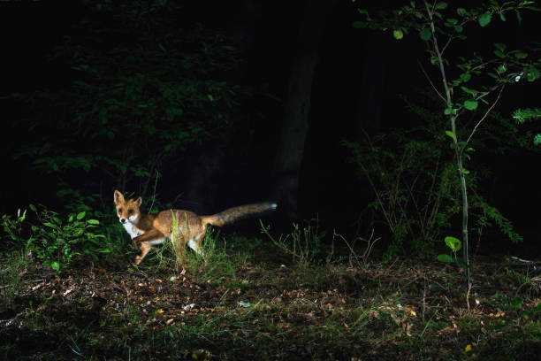 Red fox in forest at night photographed by camera trap. stock photo