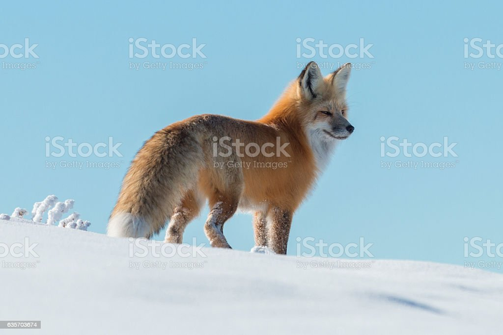 Red Fox in Hayden Vally, Yellowstone National Park, Wyoming. royalty-free stock photo
