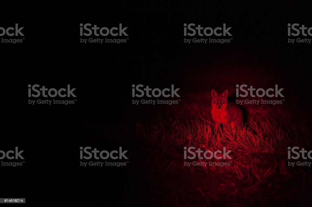 Red Fox in hunters lamp stock photo