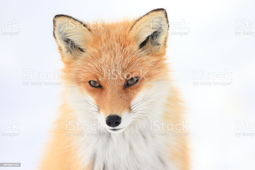 Red Fox in snow ストックフォト