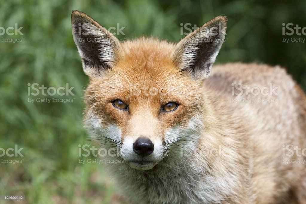 Red Fox in Surrey, South East England stock photo