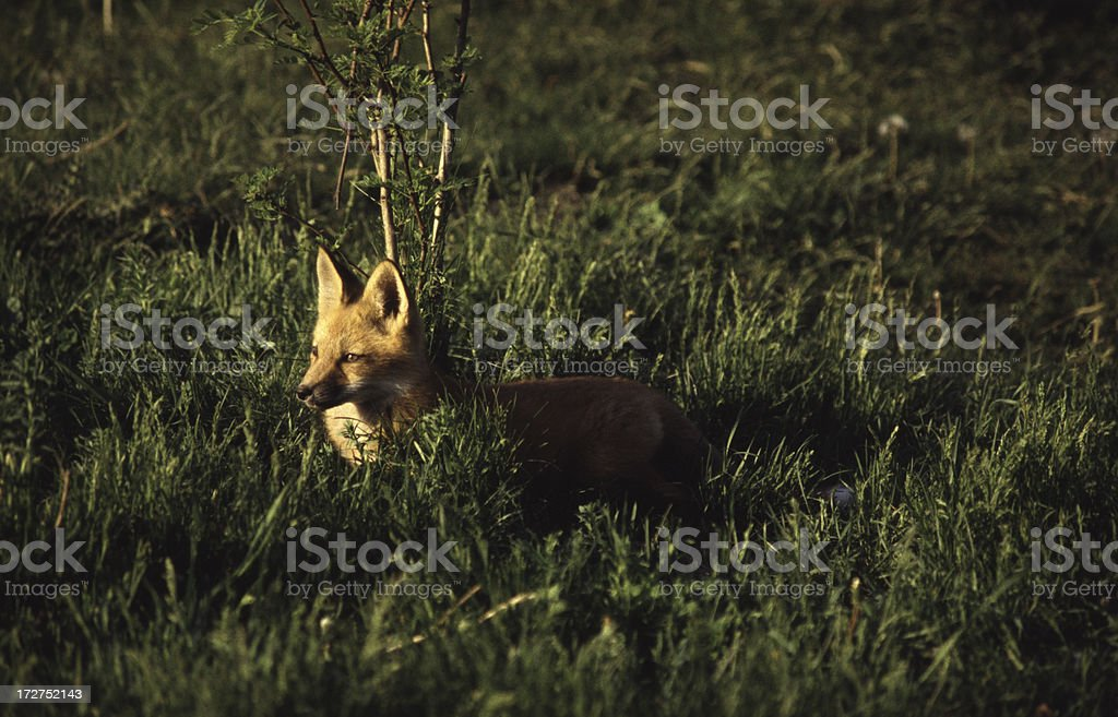 Red Fox in Tall Grass at Sunset royalty-free stock photo