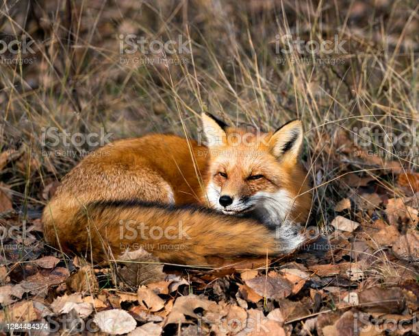 Photo of Red Fox in the forest resting on brown autumn leaves in its environment and habitat, displaying fox tail, fox fur. Fox Image. Fox Portrait. Fox Picture.