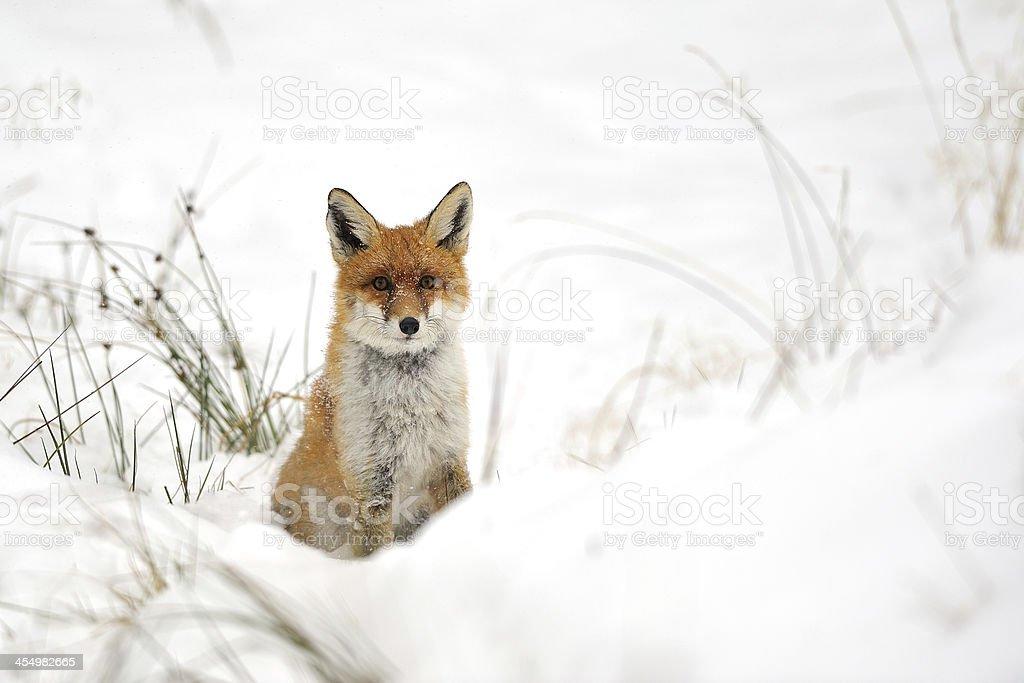 Red fox im Schnee – Foto
