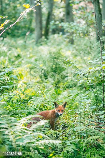 Cute fox in forest