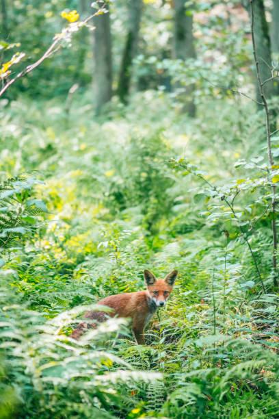 Rotfuchs in wilder Natur im Sommer – Foto