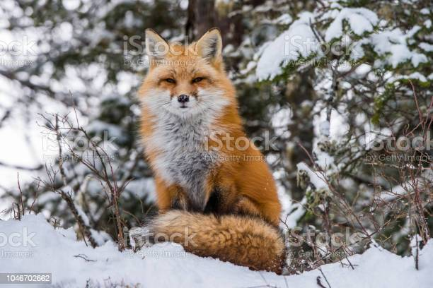 Red fox in winter picture id1046702662?b=1&k=6&m=1046702662&s=612x612&h=0bwll2qm5rch47vtfvvwhpbck7hkikgptmsuyfnza60=