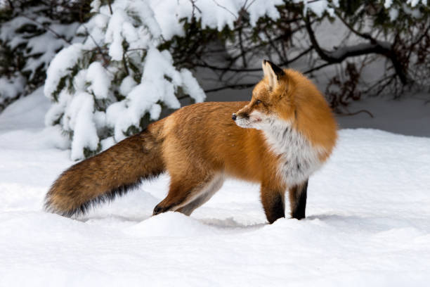 Red Fox in Winter stock photo