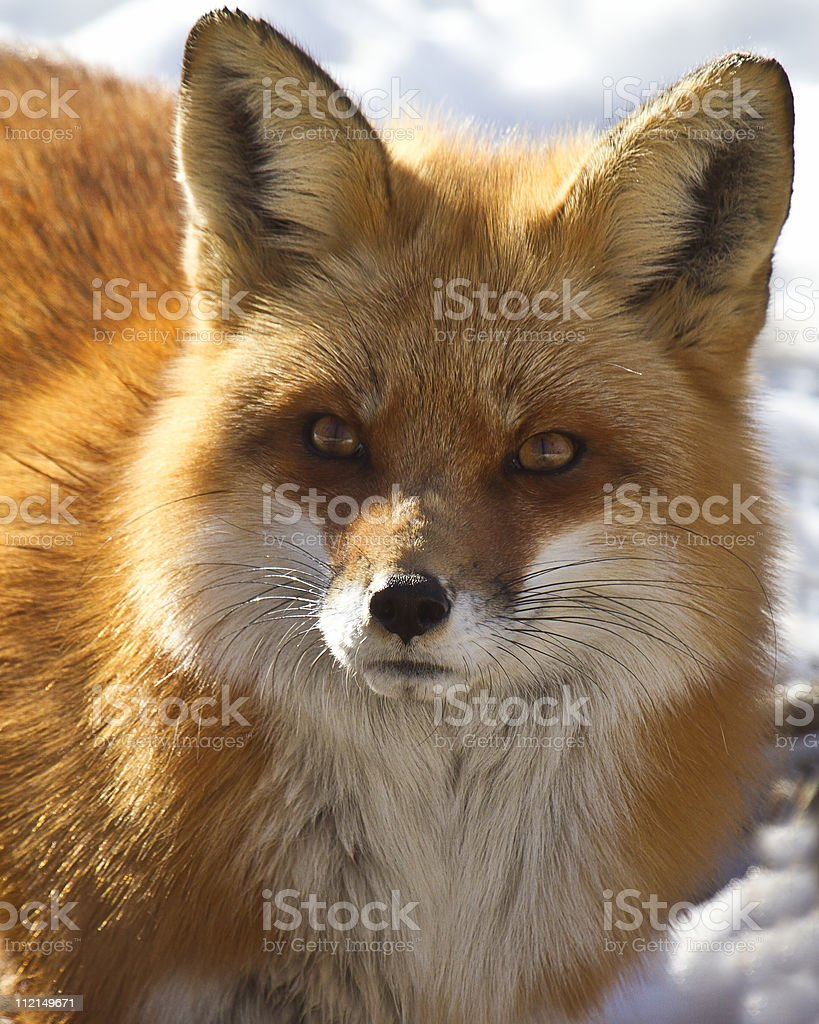 red fox in oceania essay Free essay: devasmita and the nun, two characters in somadeva's the red lotus of chastity, employ the same concept from machiavelli's the by using machiavelli's concept of being both the lion and the fox, devasmita comes out victorious in her fight against the nun and the merchant's sons.