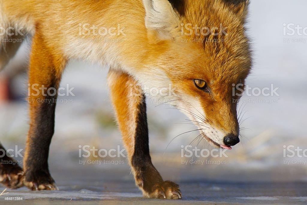 Red Fox in winter stock photo
