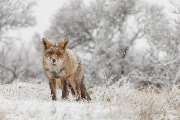 zorro rojo en invierno - zorro fotografías e imágenes de stock
