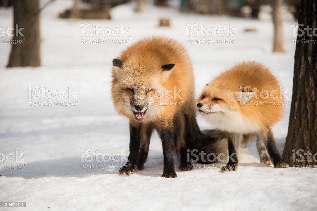 red fox in winter season stock photo