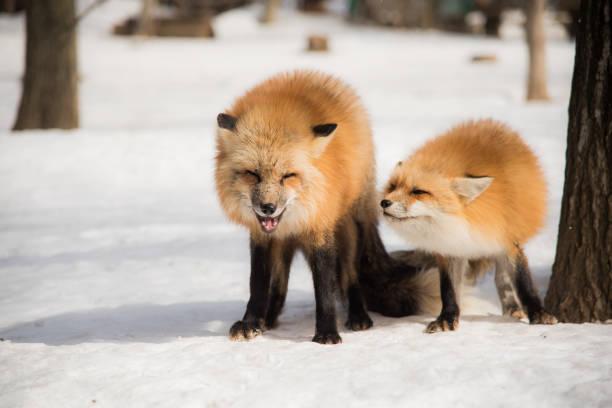 Red fox na temporada de inverno - foto de acervo