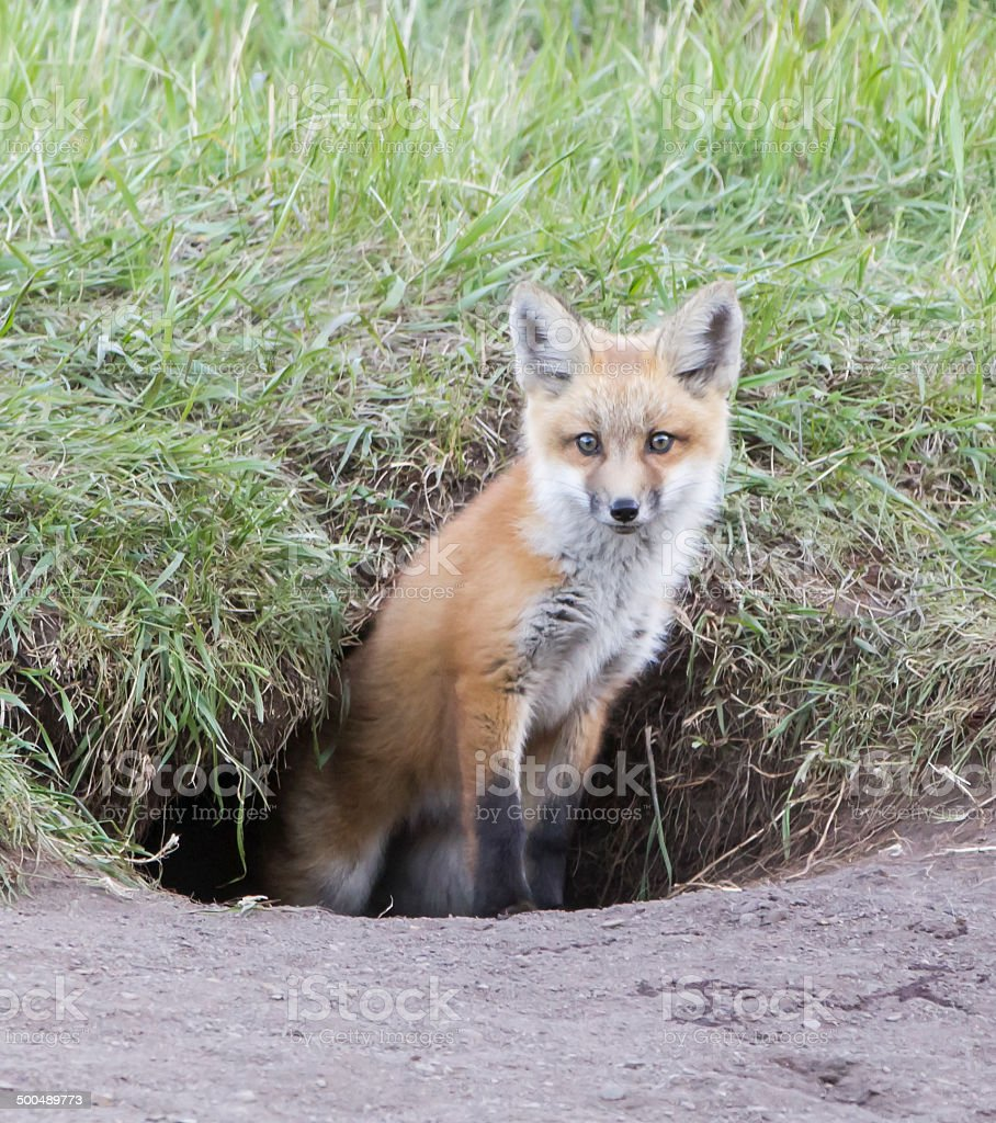 Red Fox Kit in Black Fox Hole stock photo