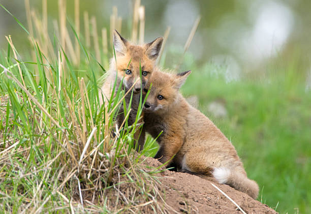 Red Fox tenue, chiot à Yellowstone NP - Photo