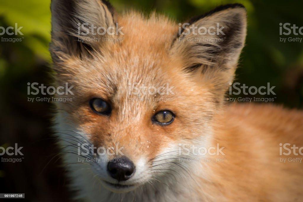 レッドフォックス キット (蝦夷赤狐) ストックフォト