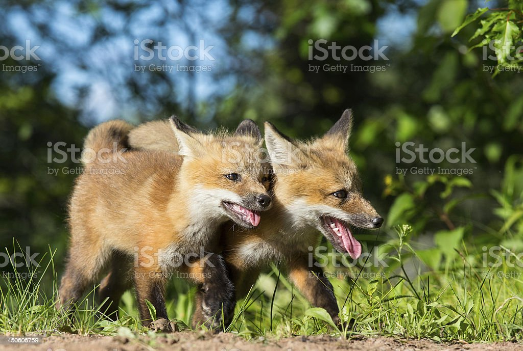 Red Fox Kits Playing royalty-free stock photo