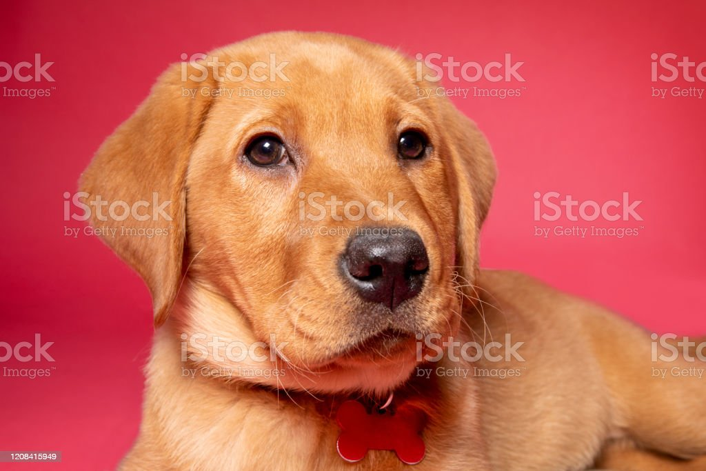 Red Fox Labrador Puppy Close Up Stock Photo Download Image Now Istock