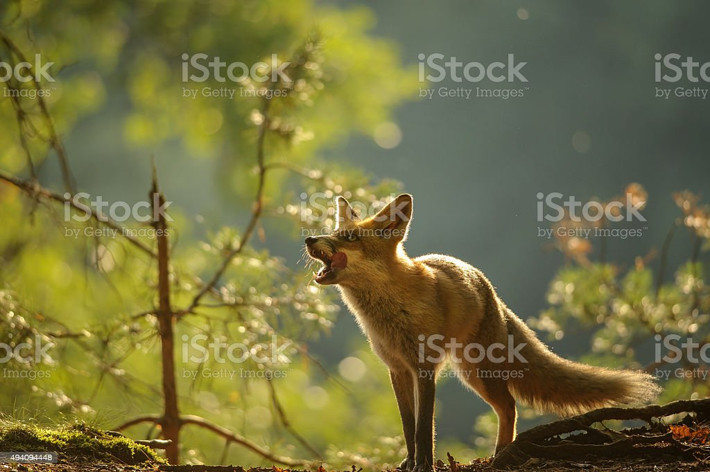 Red fox lick it self in beauty backllight stock photo