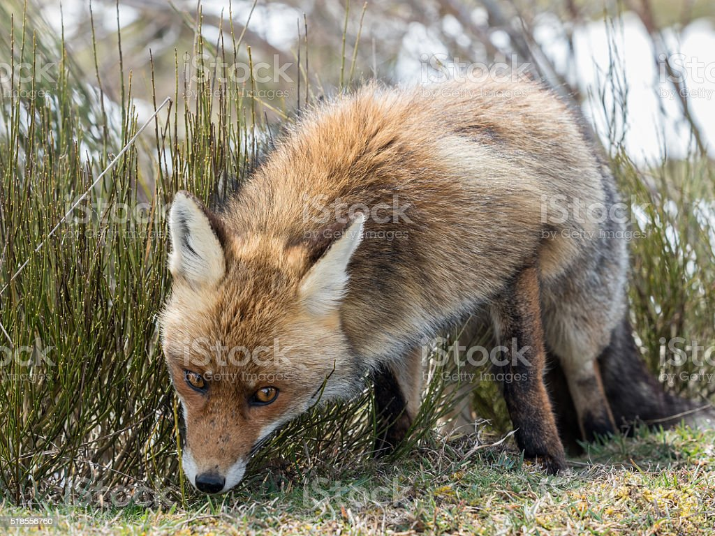 Red fox (Vulpes vulpes) looking askance at stock photo