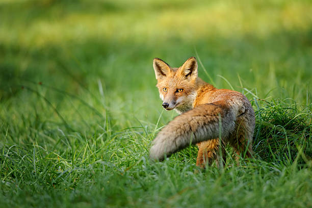 Red fox looking behind in green grass stock photo