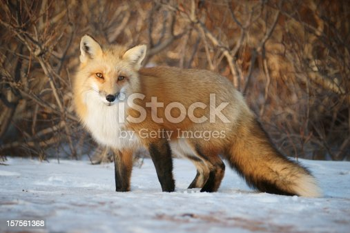 A red fox looking towards the camera. This wild fox is one of many on Prince Edward Island, Canada.