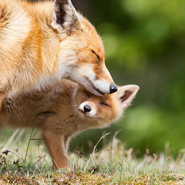 Red Fox Mother and a Cub stock photo