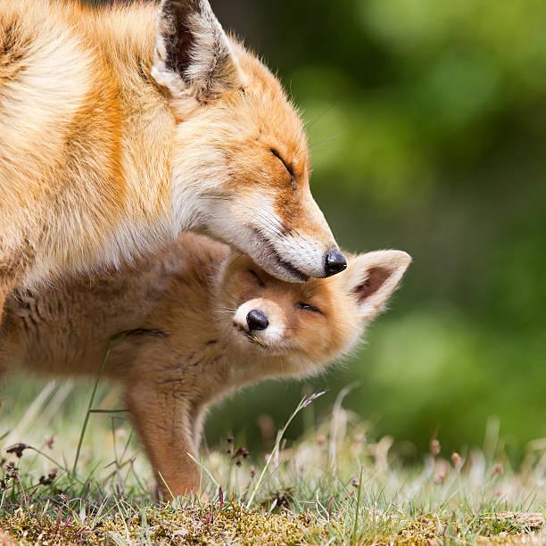 Red Fox madre y un cachorro - foto de stock