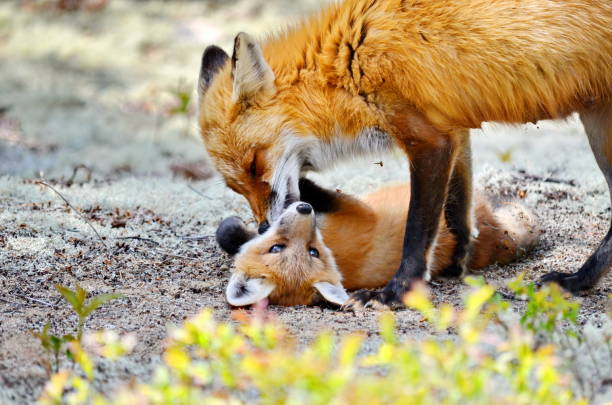 Red Fox mother and Kit stock photo