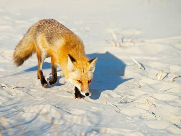 Red Fox on Beach stock photo