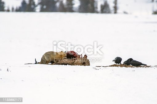 Red fox eating from elk carcass
