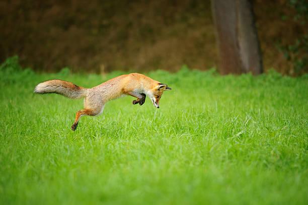 Red fox auf hunt, mousing in grass field – Foto