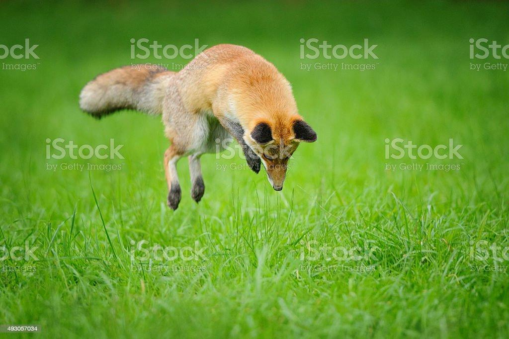 Red fox auf der Jagd nach mousing in grass – Foto