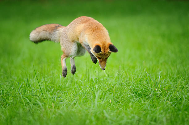 Red fox on hunt when mousing in grass stock photo