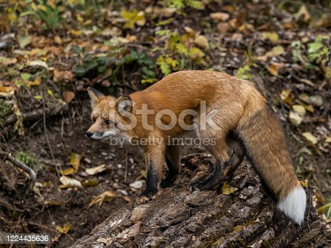 A red fox standing on a log in the forest. Has an intense look in its eyes.