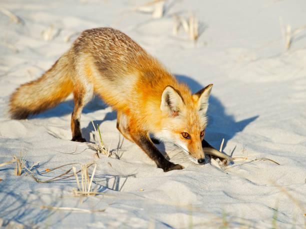 Red Fox on the Beach stock photo