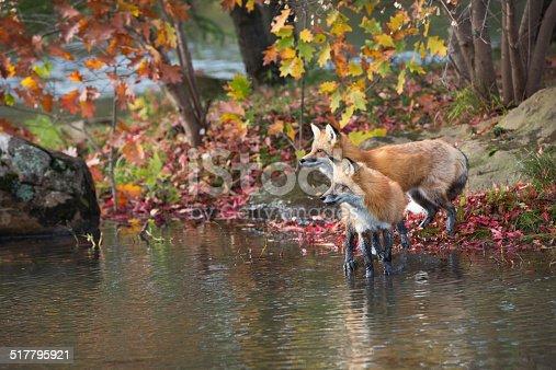 Red fox pair in an Autumn Minnesota lakeside setting.