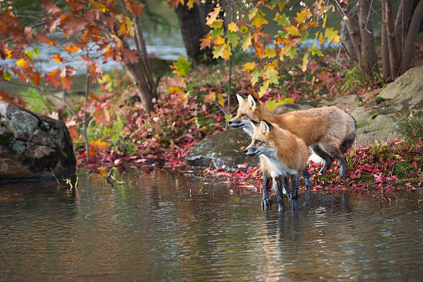 Red fox pair on lakes edge. stock photo