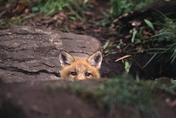 red fox peeking over rock in the forest - fox stock photos and pictures