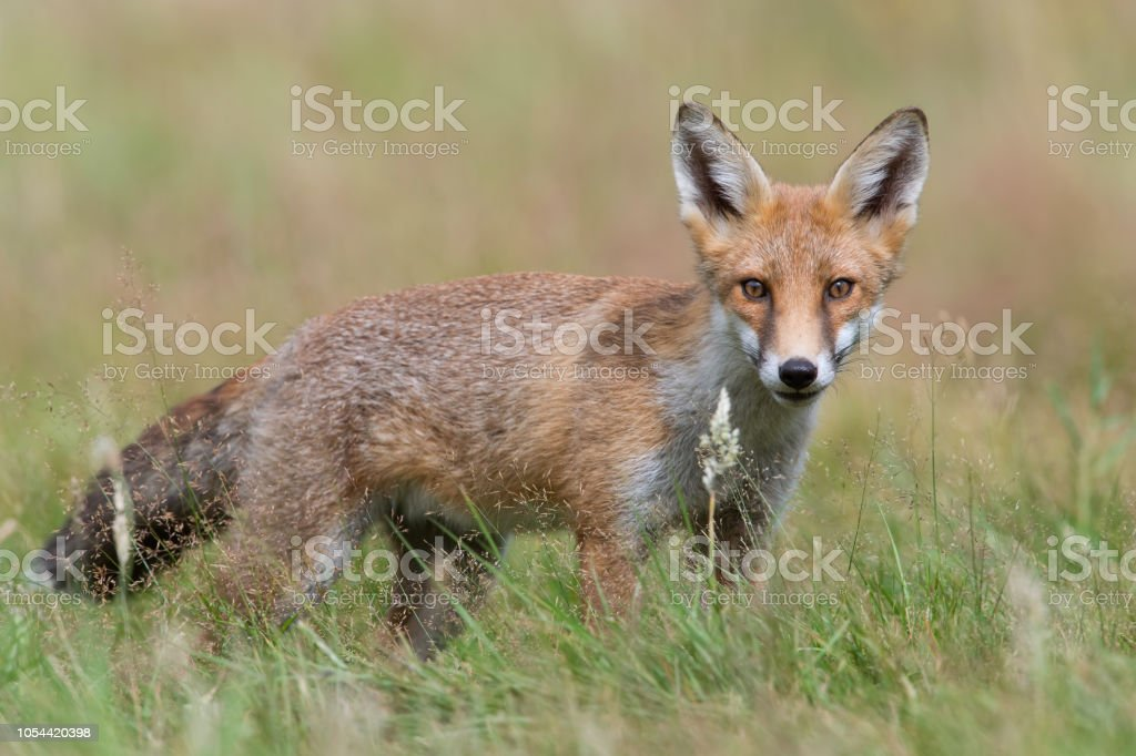 Zorro rojo (Vulpes vulpes) - foto de stock